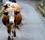 Din cauza secetei, satele vasluiene rãmân fãrã animale