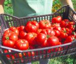 Pe cine, de fapt, îmbogãteste Programul «tomata»?!